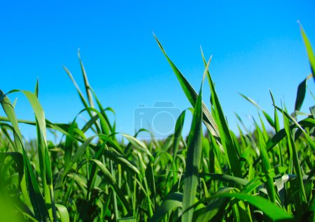 Photo for Green grass ans blue sky - Royalty Free Image