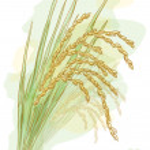 Rice (Oryza sativa). Watercolor style. Vector illu...