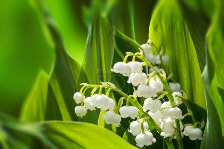 Цветущая Лили долины в весеннем саду