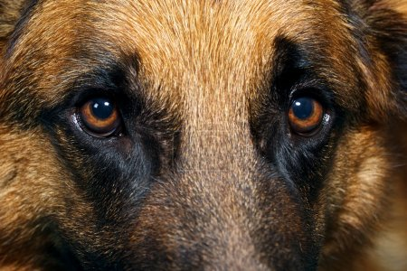 Close up of German Shepherd Dog eyes