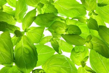 Photo for Fresh Basil Leaves close-up background / back-lit - Royalty Free Image