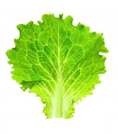 Fresh Lettuce / one leaf isolated on white backgro...