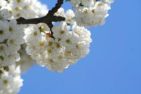 Photo pour Arbre fleuri sur fond de ciel bleu - image libre de droit