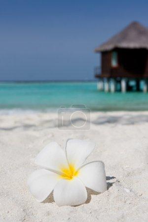 Photo pour Gros plan d'un frangipani blanc sur une plage de sable avec une villa d'eau en arrière-plan - image libre de droit