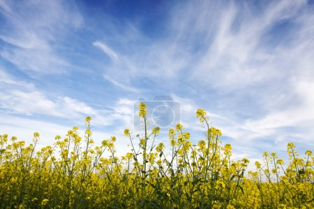 Photo for Blue sky against yellow field in a natural surrounding. - Royalty Free Image