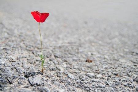 A Single red Poppy