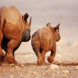 Black Rhinoceros cow and calf walking away in Etos...