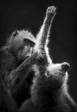 Photo pour Toilettage des babouins (Traitement artistique ) - image libre de droit