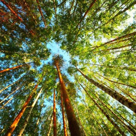Photo pour Arbres dans une forêt avec un ciel bleu - image libre de droit