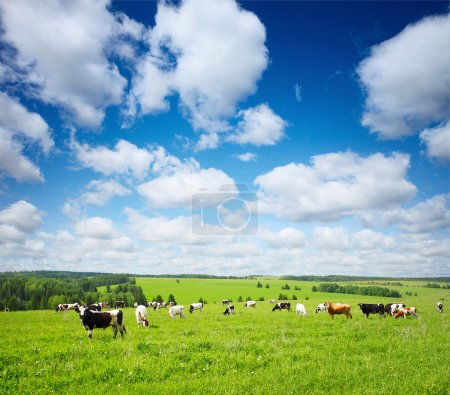 Photo pour Groupe de vaches broutant sur une prairie verte avec un ciel nuageux bleu - image libre de droit