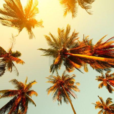 Photo pour Palmiers au coucher du soleil - image libre de droit