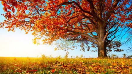 Photo for Big autumn oak with red leaves on a blue sky background - Royalty Free Image