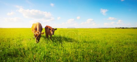 Photo for Two cows baby and mother grazing on a meadow. - Royalty Free Image