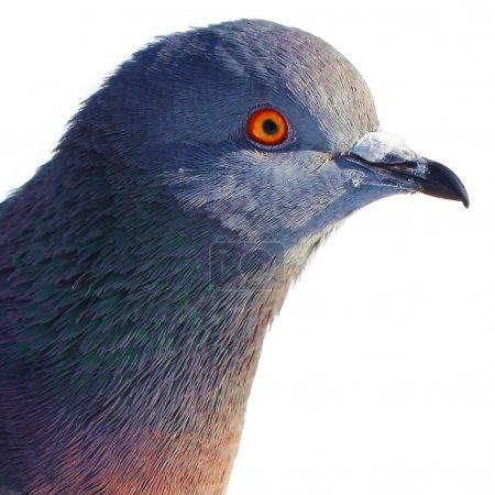 Photo pour Tête de Pigeon - image libre de droit