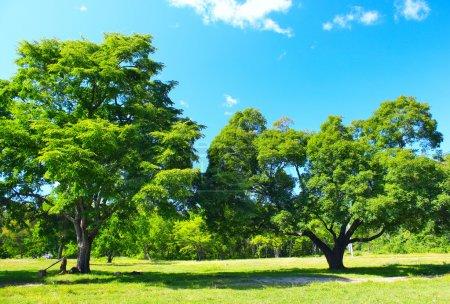 Photo pour Deux gros arbres sur pelouse verte - image libre de droit