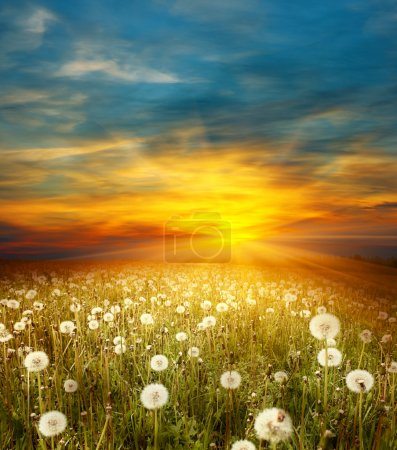 Photo for Sunset on meadow with dandelions - Royalty Free Image