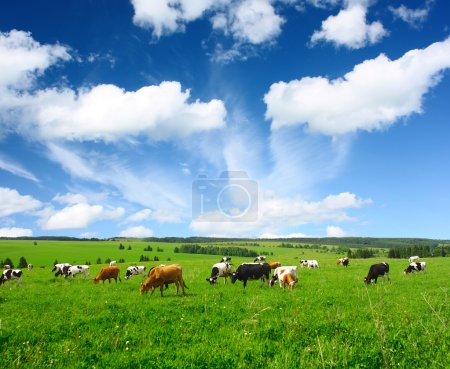 Photo for Cows on green meadow - Royalty Free Image