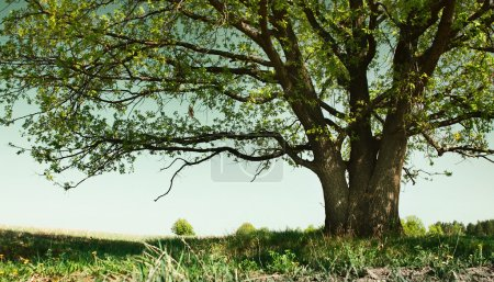 Photo for Big tree with branches and land with herbs - Royalty Free Image