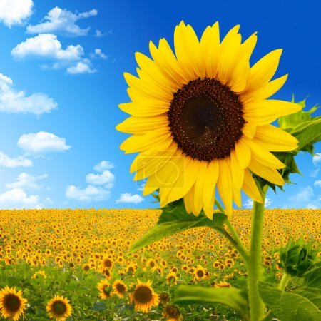 Beautiful landscape with sunflower field over cloudy blue sky an