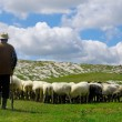 Shepherd leads his sheep through the pastures. Pic...