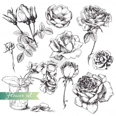 Illustration for Flower set: highly detailed hand drawn roses. - Royalty Free Image