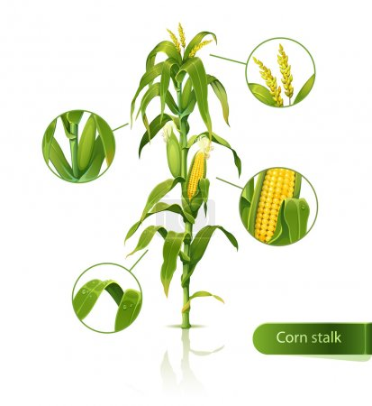 Encyclopedic vector illustration of corn stalk....