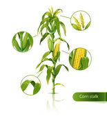 Encyclopedic vector illustration of corn stalk