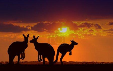 Kangaroos under sunset