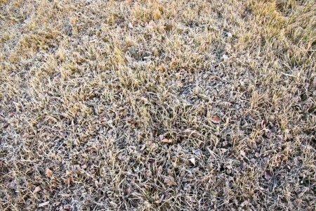 Grass in hoarfrost