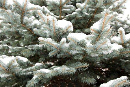 Fir-tree in snow