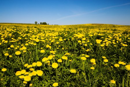 Photo for Yellow dandelions in a spring season. grow in a field - Royalty Free Image