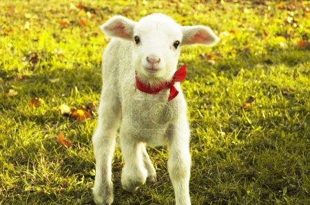 Curious lamb portrait