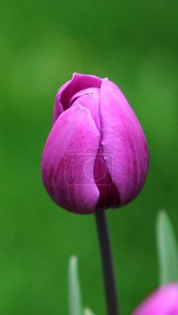 Dark purple tulip close-up