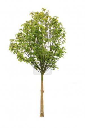 Photo for Tree isolated on white - Royalty Free Image