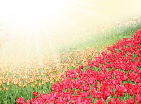 Field with colorful tulips