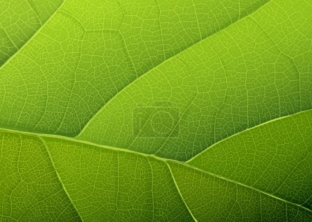 Illustration for Green leaf texture. Vector background, EPS10 - Royalty Free Image