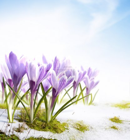 Photo for Spring flowers crocus in the snow Thaw - Royalty Free Image