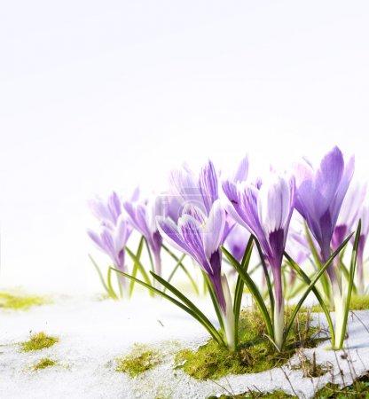 Foto de Azafrán de flores de primavera en el deshielo de la nieve - Imagen libre de derechos