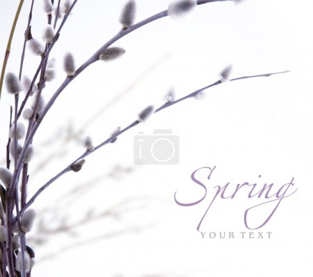 Art spring flowering branches of willow