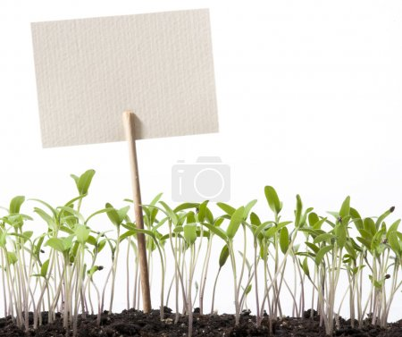 Photo for Seedlings of tomato and pointer class isolated on a white background - Royalty Free Image