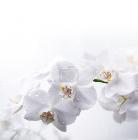 White orchid flowers with dew drops
