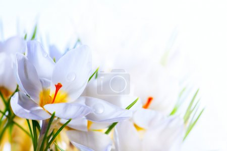 Photo for Art Beautiful Spring White crocus Flowers on white background - Royalty Free Image