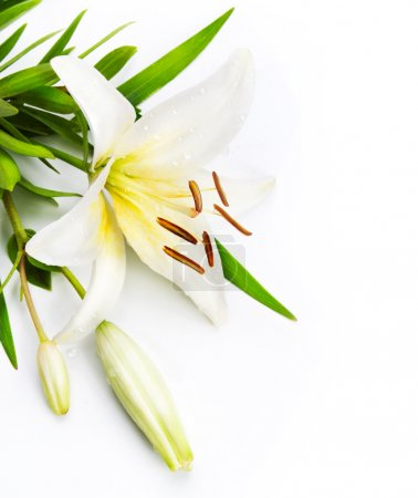Foto de Flor del lirio aislado sobre un fondo blanco - Imagen libre de derechos
