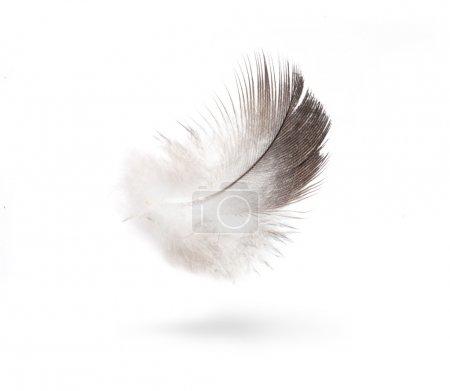 Photo pour Plumes blanches colombe isolées sur fond blanc - image libre de droit