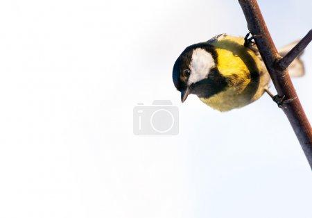 Photo pour Grande mésange sur une branche, regardant vers le bas, sur fond blanc - image libre de droit