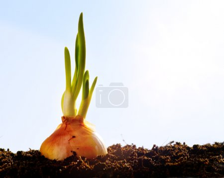 Photo for First spring onion, vegetables growing in the garden - Royalty Free Image