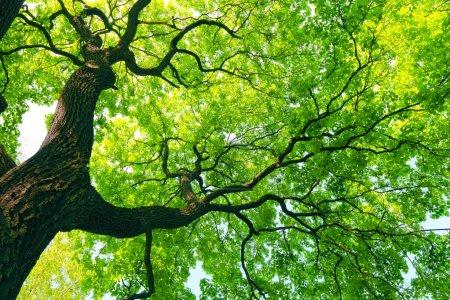 Photo pour Puissant vieil arbre avec des feuilles vert printemps - image libre de droit
