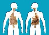 Poster Human Internal Organs