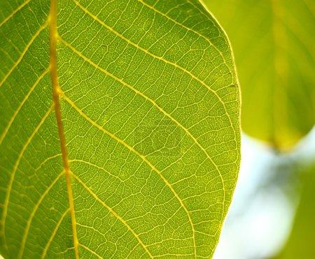 Photo pour Gros plan d'une feuille verte, macro - image libre de droit