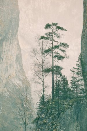 One specimen of Pinus sylvestris (Scots Pine) stra...